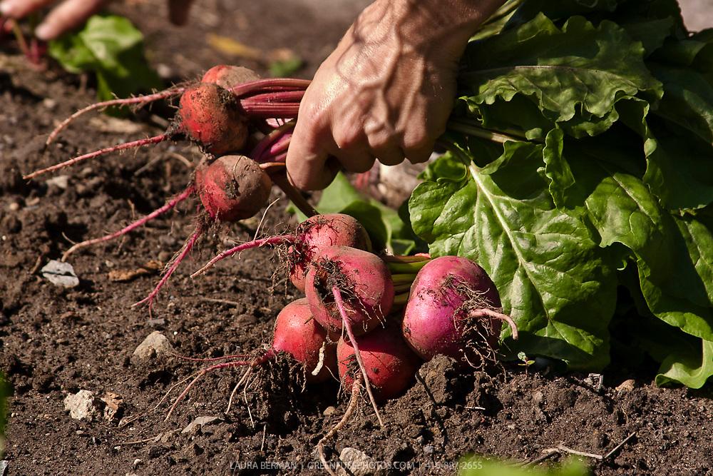 Freshly harvested beets in the gardener's hands.