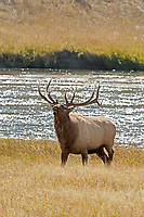 A Bull Elk tests the air checking to see if any of the cows in his harem are ready for mating this is September in the Wyoming Mountains.