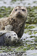 Harbor Seal<br /> Phoca vitulina<br /> Mother and 2 week old pup<br /> Monterey Bay, CA