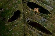 A fasciated tree frog (Boana fasciata) peers through a leaf - Kanuku Mountains, Guyana