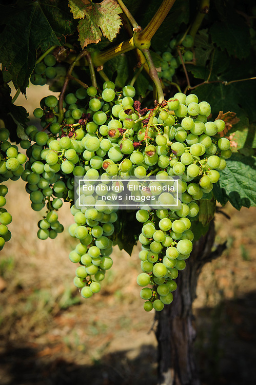 Vineyard in the Cotes de Duras, Lot et Garonne, Aquitaine, France<br /> <br /> (c) Andrew Wilson   Edinburgh Elite media