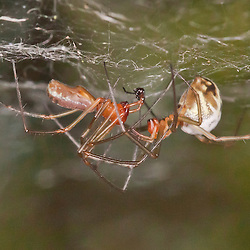 Sheetweb spiders mating: After a short kind of coutship the male spider moves underneath the female and usues its palpal organs (the tarsus of the pedipalps) to transfer sperm to the seminal receptacles at the female abdomen. - Paarung bei Baldachinspinnen: Die männliche Spinne bewegt sich nach kurzer Balz unter den Paarungspartner und überträgt mit Hilfe des Palpenorgans (Bulbus) am Ende der Pedipalpen das eigene Sperma in die weibliche Geschlächtsöffnung.