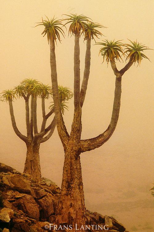 Giant tree aloes in morning fog, Aloe pillansii, Richtersveld National Park, South Africa