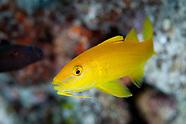 Parupeneus cyclostomus (Goldsaddle Goatfish)