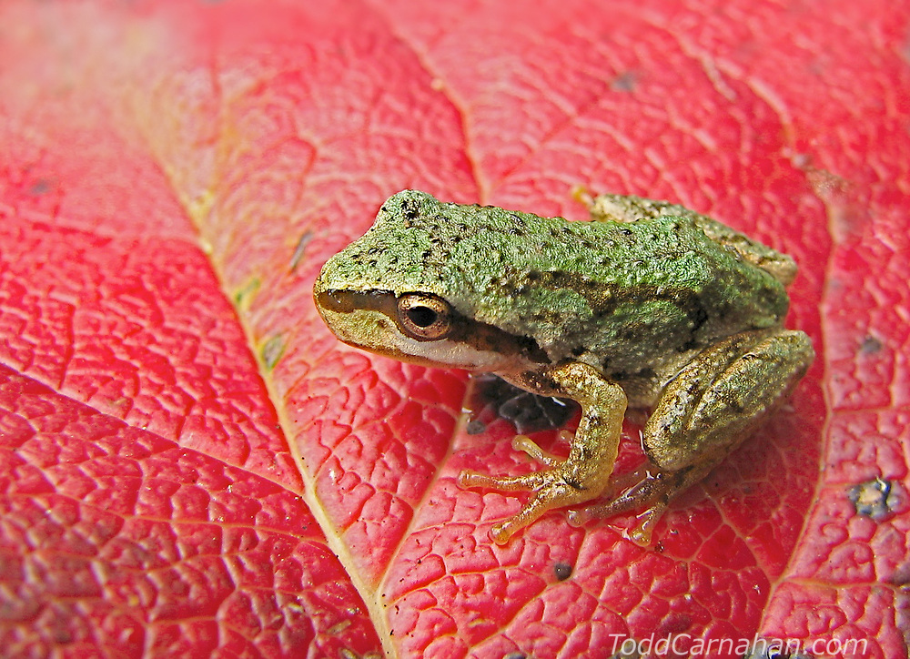 A young Pacific Chorus Frog metamorph hops across a salal leaf in the fall rain