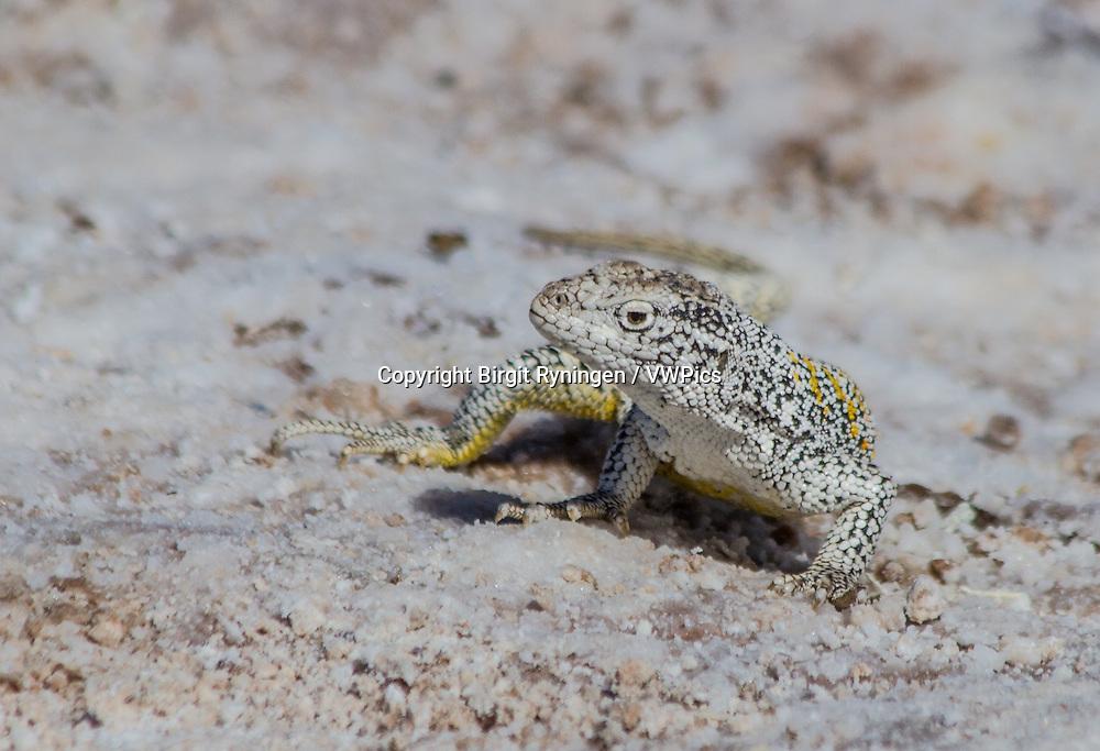 A Fabian's lizard at Chaxa Lagoon, a salt water lake outside San Pedro de Atacama, north Chile