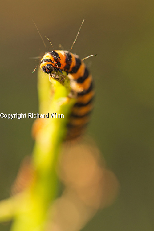 Cinnabar moth caterpillar, lit by the evening sun, using selective focus to emphasise the mouth area.
