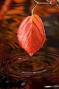A fall leaf over a pool of water. Western Oregon.
