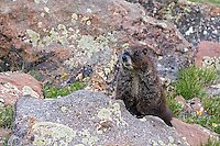 A marmot up on Hermit Pass in the Sangre de Cristo mountain range