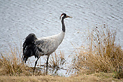 Eurasian Crane (Grus grus) at Lake Hornborga, Sweden.
