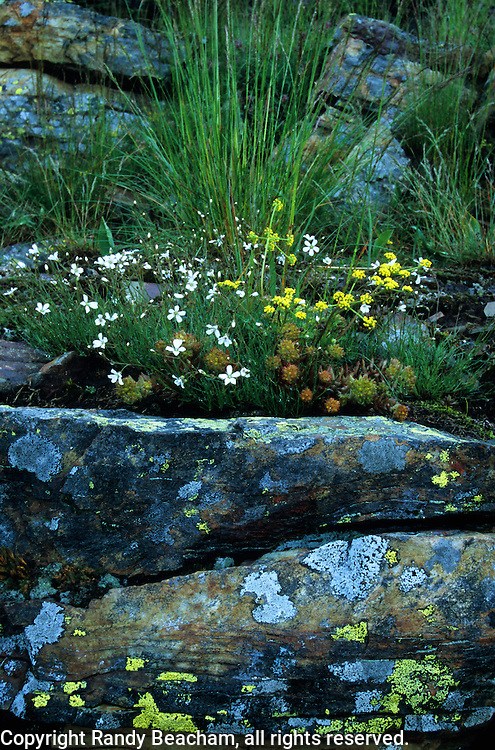 Wildflowers and lichens on rock. Mount Robinson Roadless Area in the Purcell Mountains, northwest Montana