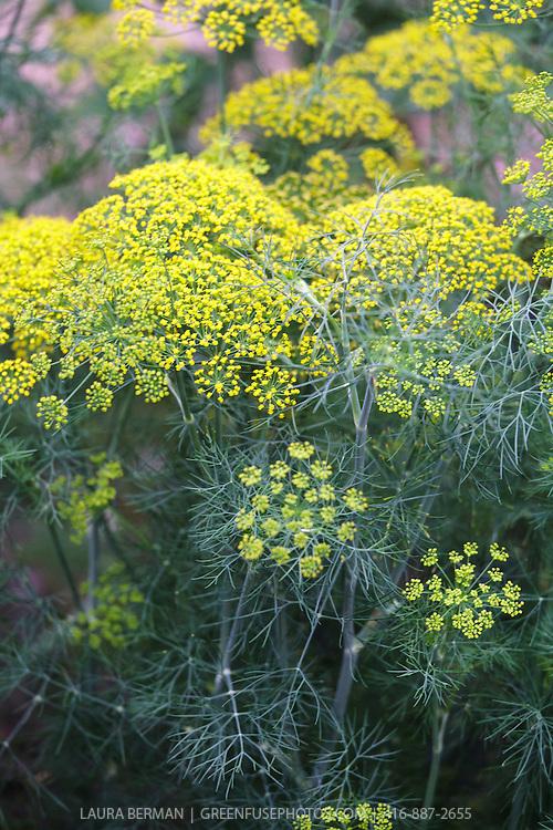 Dill flowers (Anethum graveolens)