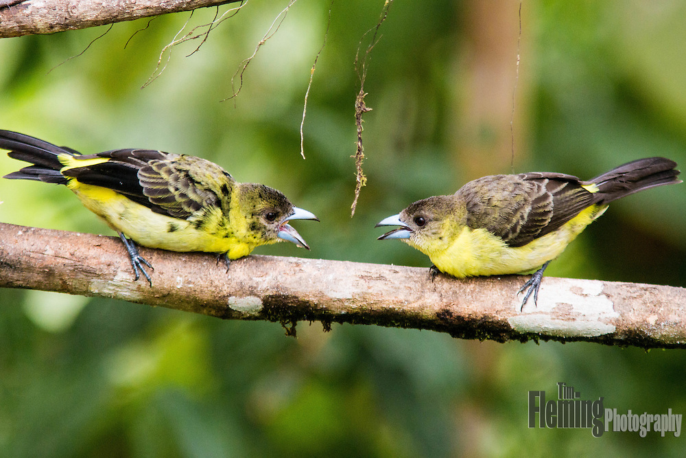 Two lemon-rumped Tanagers  face off in the Tandayapa Valley, Ecuador