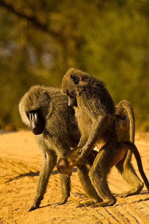 Baboons, Tarangire National Park, Tanzania
