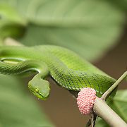 Large-eyed Pit Viper (Trimeresurus macrops) female in situ next to pink eggs from a water snail in Pak Chong, Nakhon Ratchasima, Thailand