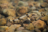 Arkansas Saddled Darter<br />
