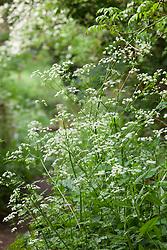 Cow parsley. Anthriscus sylvestris
