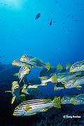 oriental sweetlips, Plectorhinchusorientalis, Similan Islands, Thailand ( Indian Ocean )