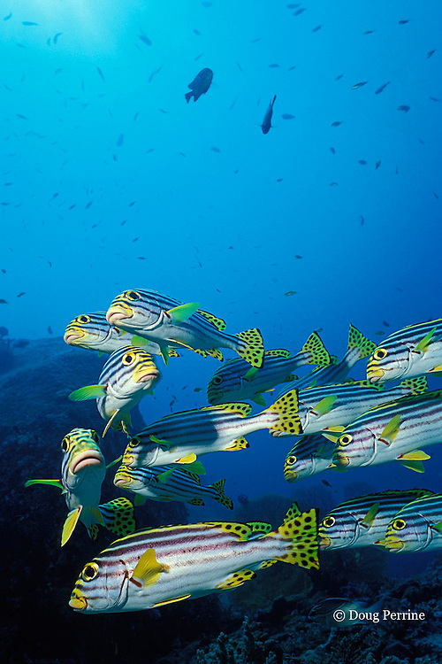 oriental sweetlips, Plectorhinchus orientalis, Similan Islands, Thailand ( Indian Ocean )