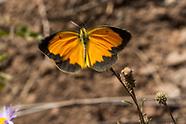 Eurema nicippe - Sleepy Orange