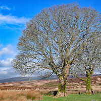 Lone trees dot the landscape of the hills of County Wicklow, Ireland