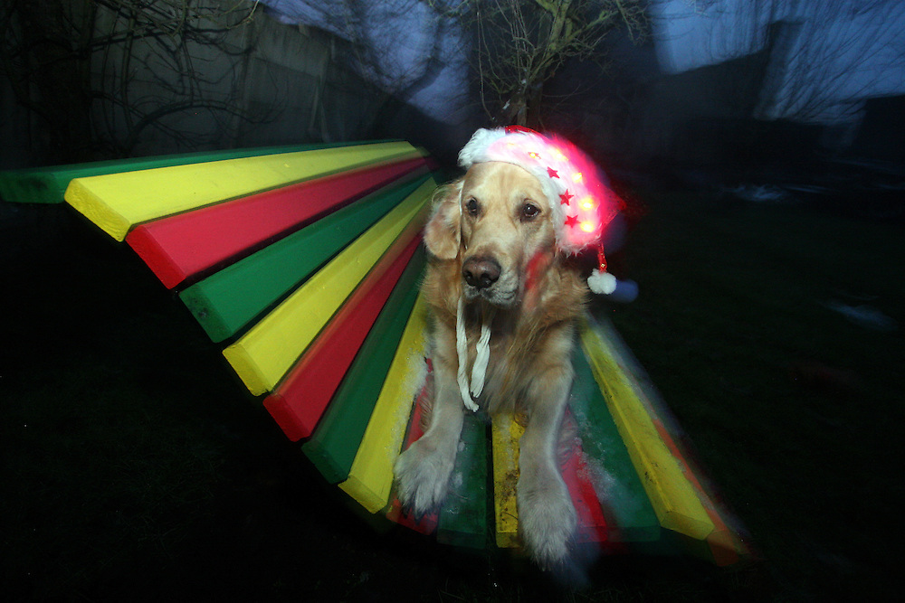 Golden Retriever Lemmy mit einer weihnachtlichen M&uuml;tze. Der Golden Retriever ist ein intelligenter, freudig arbeitender Hund, dem auch extreme, nasskalte Witterungsbedingungen nichts ausmachen. Dem steht allerdings eine relativ starke Empfindlichkeit hinsichtlich hoher Temperaturen gegen&uuml;ber. Grunds&auml;tzlich ist die Rasse ruhig, geduldig, aufmerksam und niemals aggressiv.<br /> <br /> Golden Retriever Lemmy on a rastafari bench located at the Czech countryside with a christmas hat.