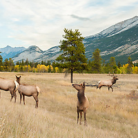 cows and bull elk in meadow with mountains