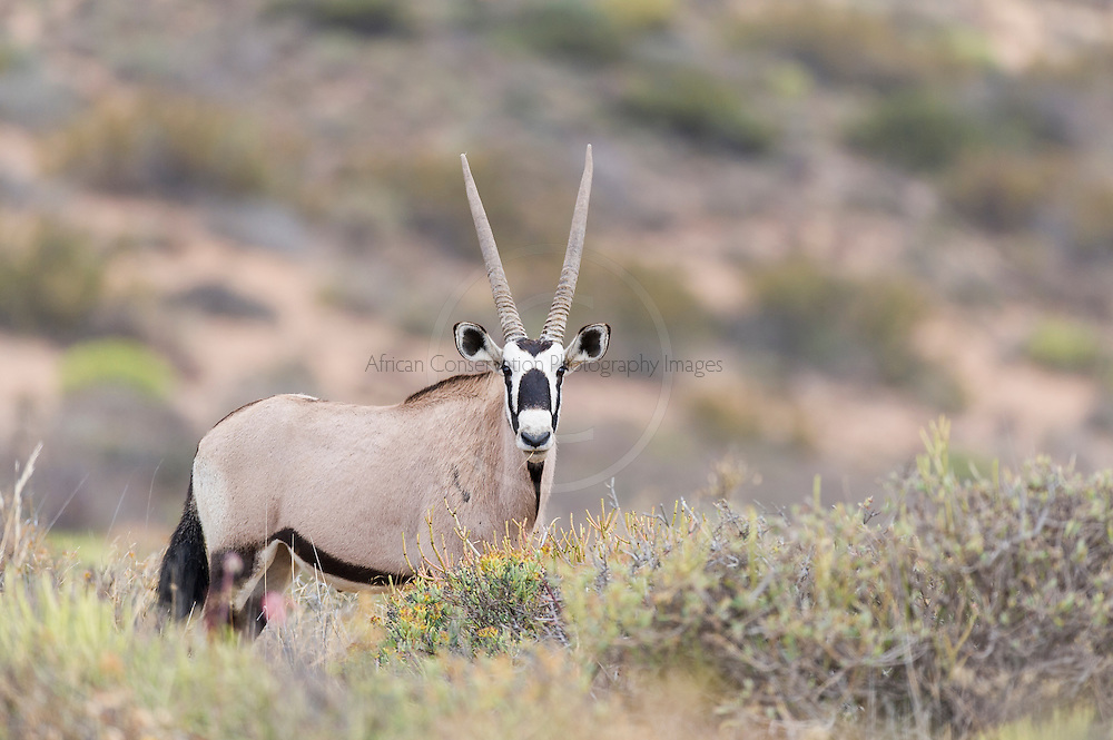 Gemsbok in the succulent veld of Namaqua National Park, Northern Cape, South Africa,