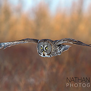 Great grey owl in flight;  MInnesota.
