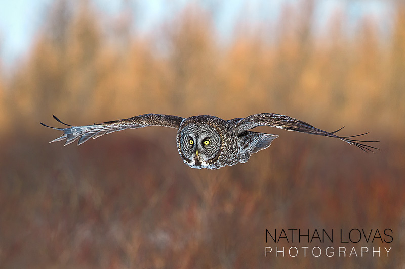 Great grey owl in flight;  MInnesota.