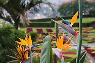 Bird of paradise plants in front of the garden planted in a checkerboard<br /> pattern in the Jardim Botanico, Madeira, Portugal