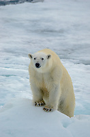 Polar Bear male pursuing a sow with cubs on the sea ice above 80˚ north above the Svalbard archipeligo, Norway.