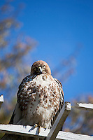 Red-Tailed Hawk (Buteo jaicensis) Perched in Rose Garden at The Huntington, San Marino, California