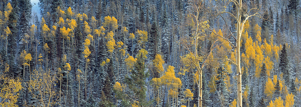 Winter Aspens