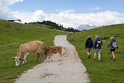 Walkers pass grazing cows in Velika Planina, on 26th June 2018, in Velika Planina, near Kamnik, Slovenia. Velika Planina is a mountain plateau in the Kamnik–Savinja Alps - a 5.8 square kilometres area 1,500 metres (4,900 feet) above sea level. Otherwise known as The Big Pasture Plateau, Velika Planina is a winter skiing destination and hiking route in summer. The herders' huts became popular in the early 1930s as holiday cabins (known as bajtarstvo) but these were were destroyed by the Germans during WW2 and rebuilt right afterwards by Vlasto Kopac in the summer of 1945.