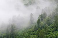 European larch tree, Larix decidua, Malbun, Liechtenstein