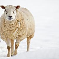 Agri stock - sheep