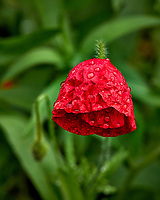 Red poppy flower drooping after the rain. Backyard spring nature in New Jersey. Image taken with a Leica T camera and 55-135 mm lens (ISO 100, 135 mm, f/5, 1/160 sec)