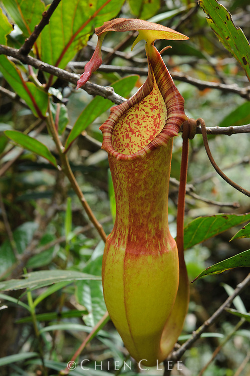 A newly discovered pitcher plant (Nepenthes appendiculata) from montane mossy forest in Sarawak. This species is remarkable by the unusual glandular appendage found at the tip of the pitcher lid, which probably serves to attract insect prey. Sarawak, Malaysia.