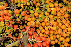 Pupunha, fruta tradicional do Para.// Pupunha traditional fruit of Para.  Foto: Carlão Limeira/Argosfoto - Belem, Para - Brazil - 2014