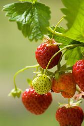 Strawberry 'Cambridge Favourite' - Fragaria