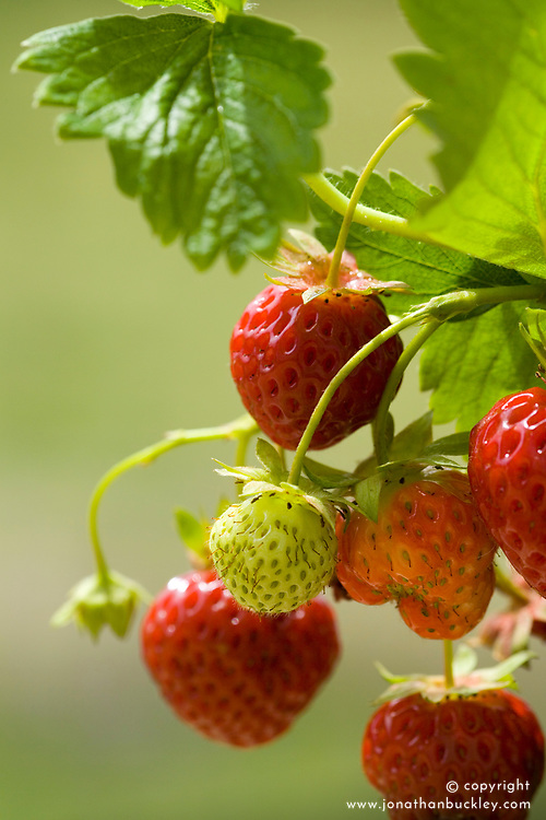 Strawberry 'Cambridge Favourite' - Fragaria