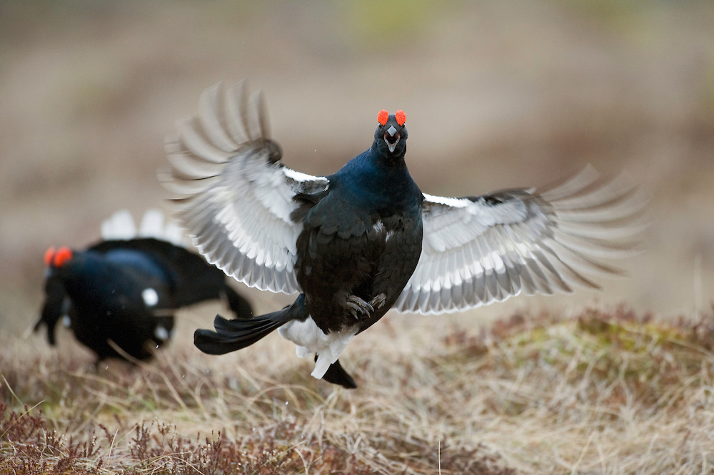 14.04.2009.Black Grouse (Tetrao tetrix) displaying on a bog. Lekking behaviour. Courting. Flight..Bergslagen, Sweden.