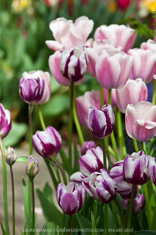 Purple and white tulips.