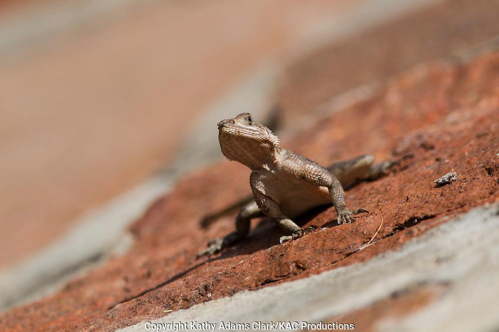 Unknown lizard, found in the Serengeti National Park, Tanzania, Africa.