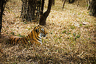Bannerghatta National Park, just outside Bengaluru, provides space for a number of animals including tigers.