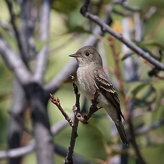 Flycatchers and Pewees