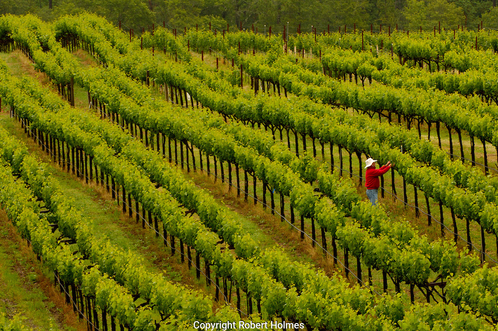 Cardinale Vineyards, Howell Mountain, California