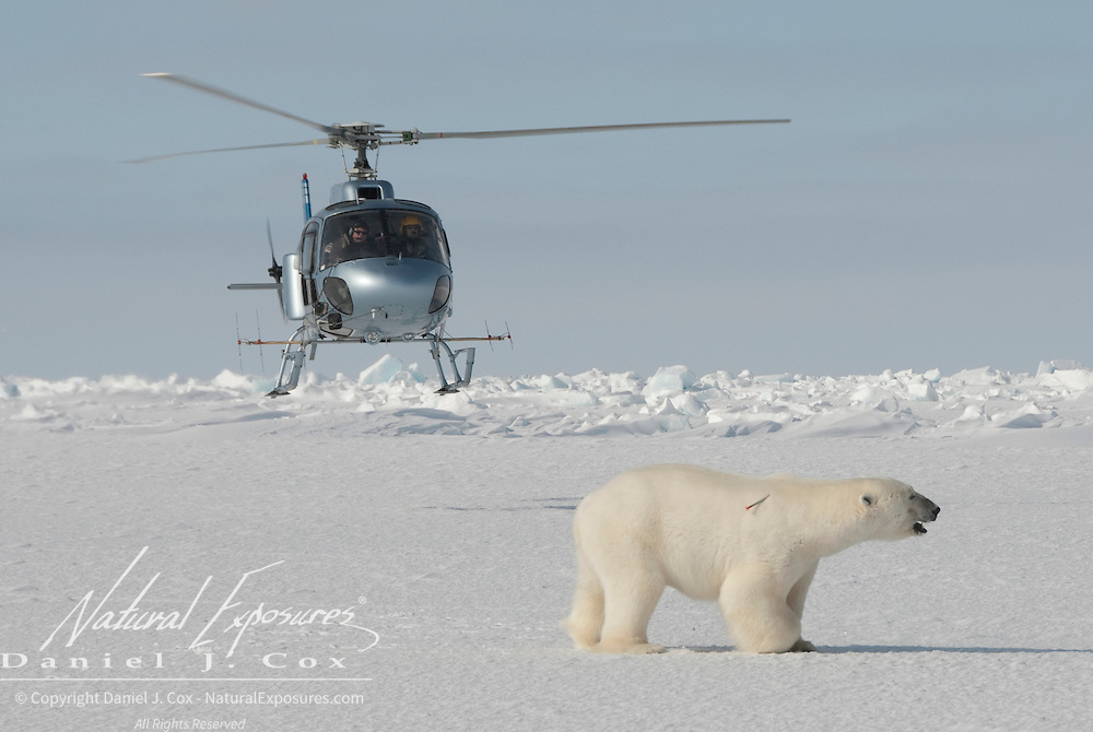A helicopter with biologists from the USGS approach a polar bear they recently shot with an immobilization drug. He'll soon be down so they can perform their field research and data collection.