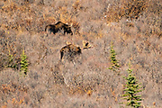 Alaskan moose forage on a slope during autumn in Denali National Park, McKinley Park, Alaska.